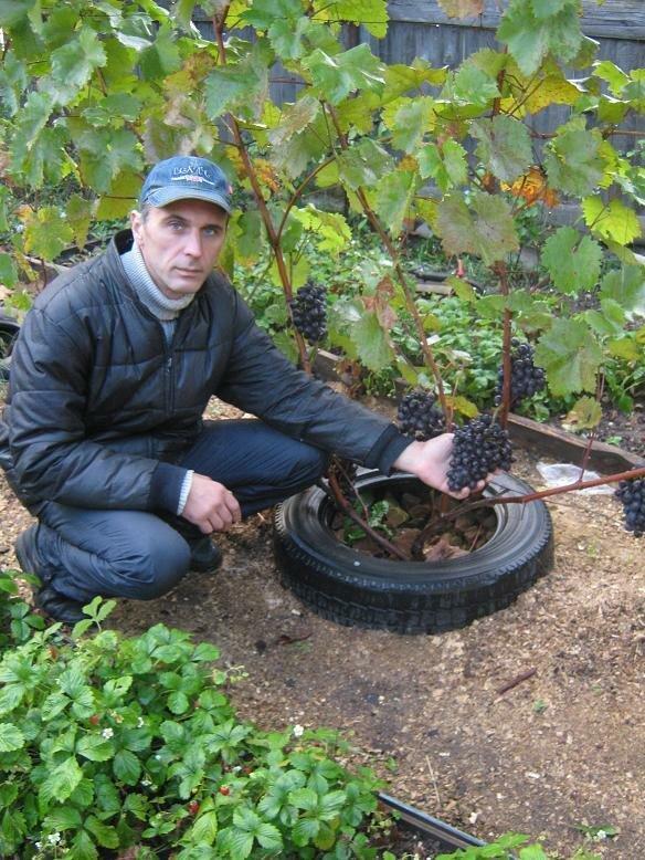 Когда сажать виноград на даче 463